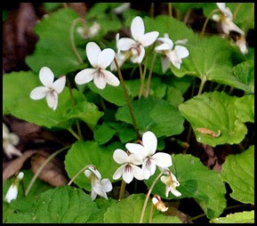 04 - Spring Wildflowers - Violets - White