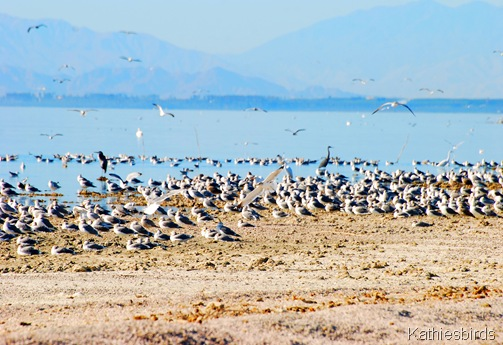 2. gulls galore-kab