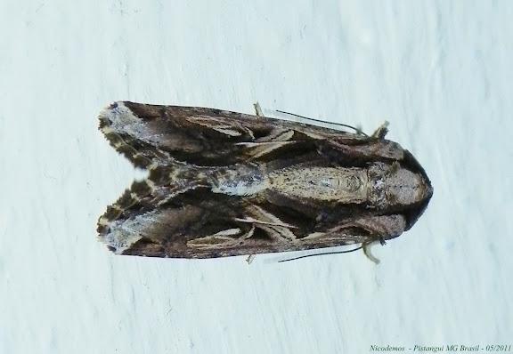 Noctuidae : Noctuinae : Spodoptera dolichos (FABRICIUS, 1794). Pitangui (MG, Brésil), 7 mai 2011. Photo : Nicodemos Rosa