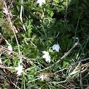 Wood anenome/ Windflower