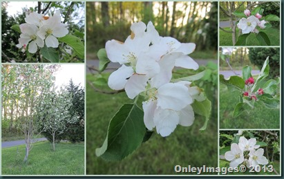 apple blossoms collage
