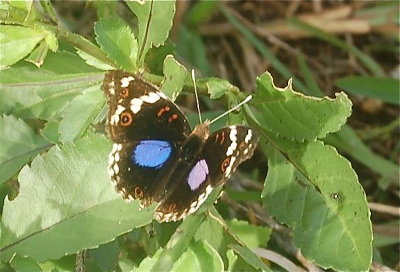 Junonia oenone epiclelia BOISDUVAL, 1833. Joffreville, Madagascar. 1er février 2011. Photo : T. Laugier