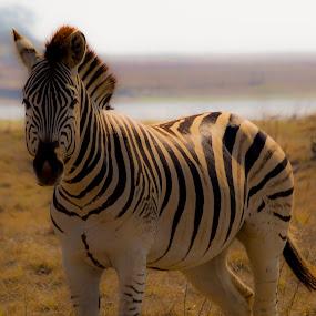 Pajama Donkie by Adriaan Vlok - Animals Other Mammals ( zebra,  )