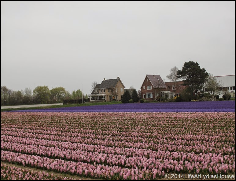 Holland Flower Fields 8