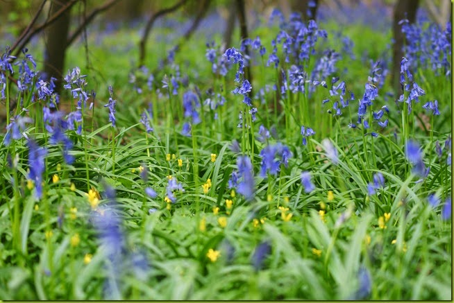 Bluebells at Wayland wood