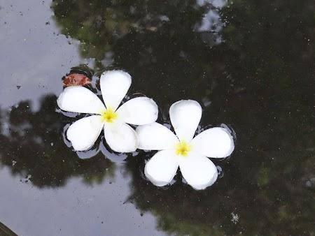 18. flori in piscina.JPG