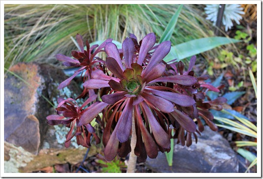 130126_Aeoniums-in-backyard_06