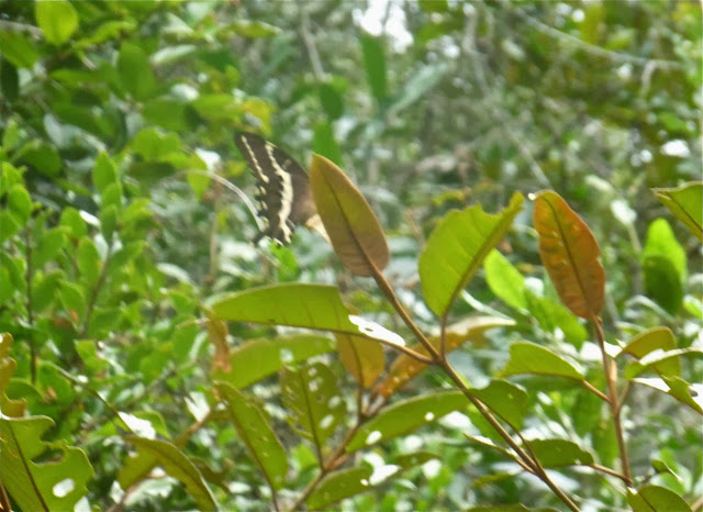 Papilio delalandei GODART, [1824], endémique. Saha Forest Camp, Anjozorobe (Madagascar). 2 janvier 2014. Photo : J. Marquet