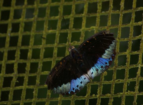 Lexias dirtea FABRICIUS, 1793, mâle. Poring (Sabah, Malaisie), 31 juillet 2011. Photo : J.-M. Gayman