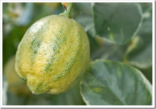 120919_variegated-Eureka-lemon_01