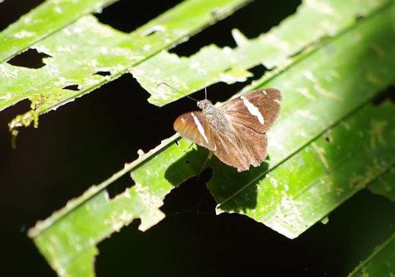Hesperiidae : Autochton neis (GEYER, 1832). Crique Yaoni (sentier 2), Carbets de Coralie, 1er novembre 2012. Photo : J.-M. Gayman