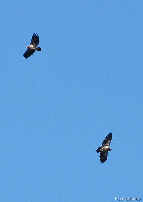 18. immature bald eagles-kab