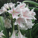 Milk and Wine Lily