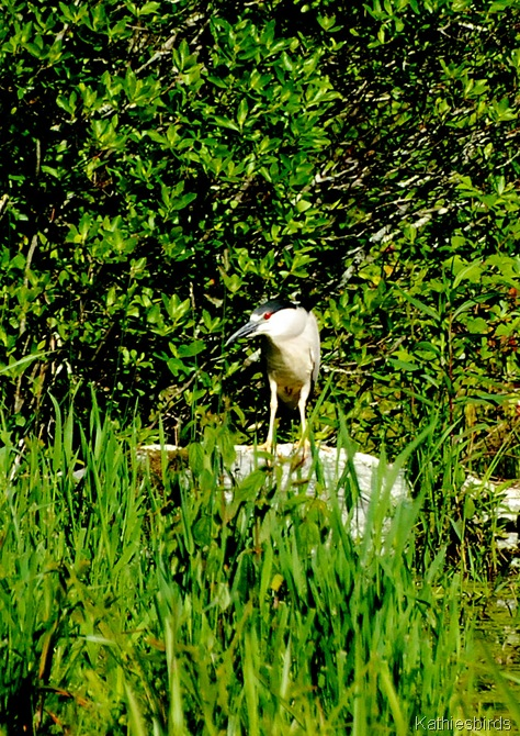 12. black-crowned night heron-kab
