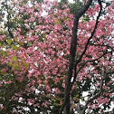 Flowering Dogwood (pink)