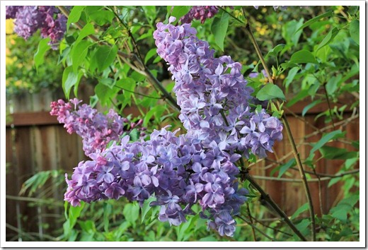 130328_Syringa-vulgaris-Blue-Skies_09