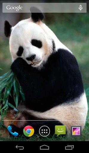 Cute Panda Live Wallpaper Free
