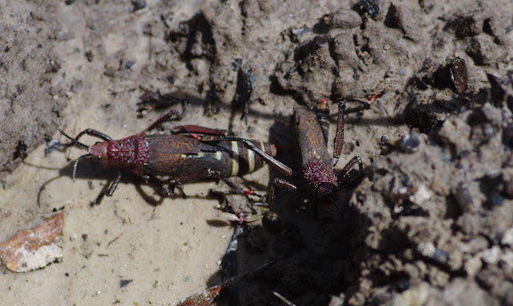 Pyrgomorphidae : Dictyophorus spumans THUNBERG, 1787. Berges de la Soo (affluent du fleuve Nyong), Ebogo (Cameroun), 8 avril 2012. Photo : J.-M. Gayman