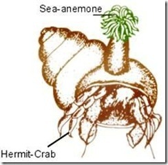 Sea anemone and Hermit crab