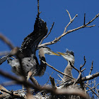great blue heron fledgling