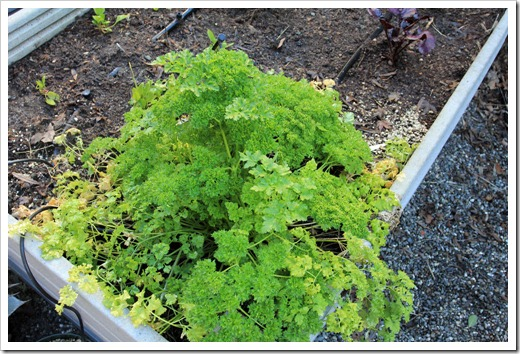 130110_parsley