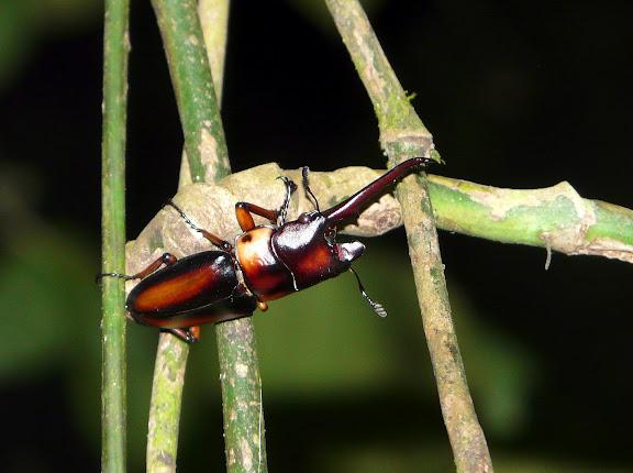 Lucanidae : Prosopocoilus savagei HOPE, 1842. Atewa Hills (Ghana), 14 décembre 2009. Photo : J. F. Christensen