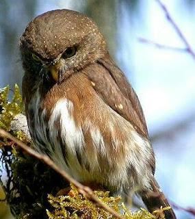 burung terkecil di dunia