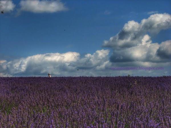 provence lavanda 2.jpg