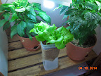 summercrisp lettuce and 12 week peppers now in final pots - elder pepper moved to a window