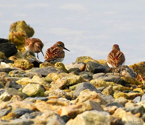 1. least sandpipers-kab