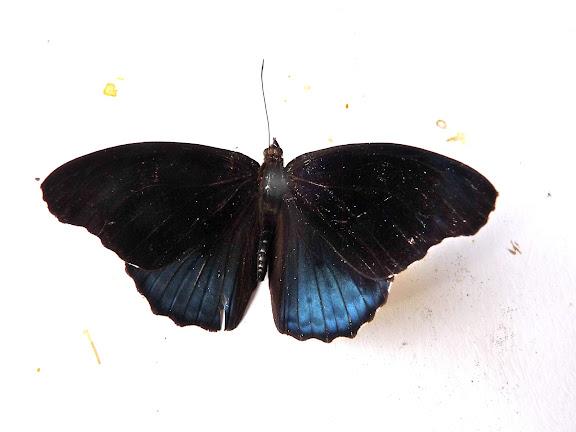 Eunica volumna venusia C. FELDER & R. FELDER, 1867, mâle. Rivière Comté (Guyane). 28 octobre 2010. Photo : C. Chazal