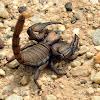 Digging Scorpion