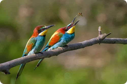 gruccione-Pair_of_Merops_apiaster_feeding