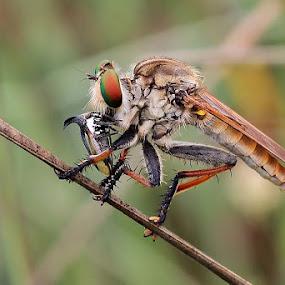 by Joel  Pangoe Rihingan - Animals Insects & Spiders (  )