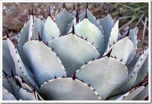 121013_RBG_Agave-parryi_02