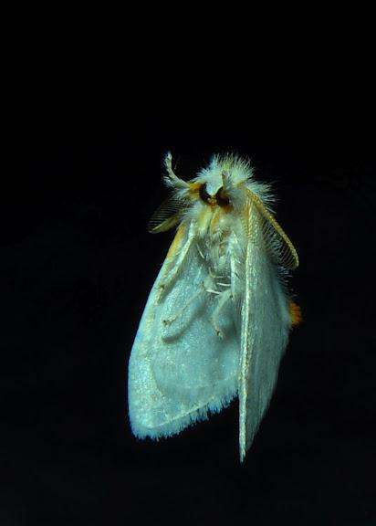 Lymantriidae : Acyphas leptotypa TURNER, 1904, mâle. Umina Beach (NSW, Australie), 18 octobre 2011. Photo : Barbara Kedzierski