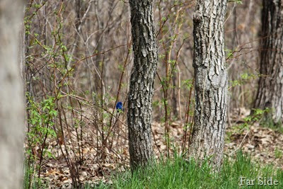 Indigo Bunting in the woods