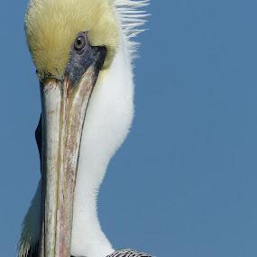 Florida Keys Pellican by Francesco Altamura - Animals Birds ( bird, nature, florida, sea, pellican, animal,  )