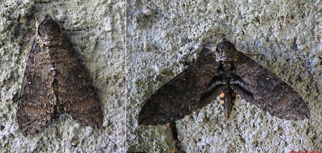 Sphingidae : Manduca diffissa tropicalis (ROTHSCHILD & JORDAN, 1903), femelle. Environs de Curitiba, Paraná. 6 février 2010. Photo : Mauricio Skrock