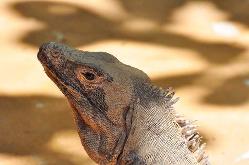 Large iguana near the pool at Buena Vista, Quepos, Costa Rica.