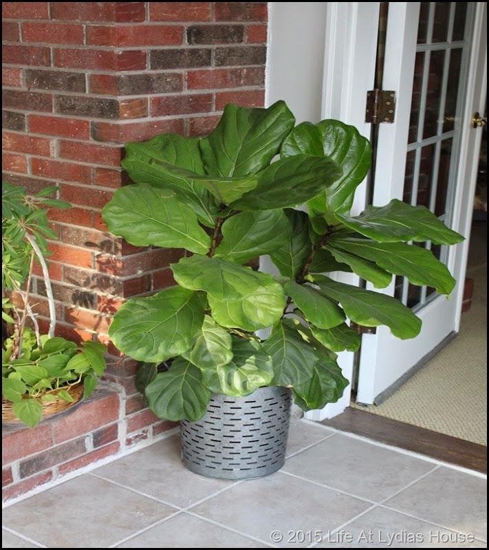 fiddle leaf fig tree winter b