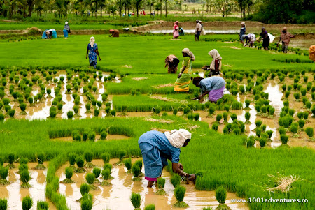 Vacanta Kerala: Camp de orez India