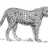 guepardo.jpg