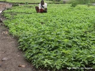 Champ de légumes. Radio Okapi/ Ph. John Bompengo