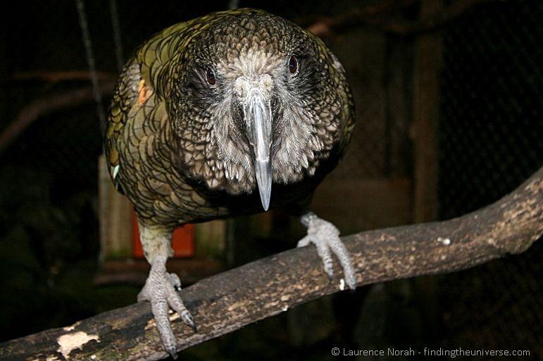 Kea Alpine Parrot - Not a Kiwi