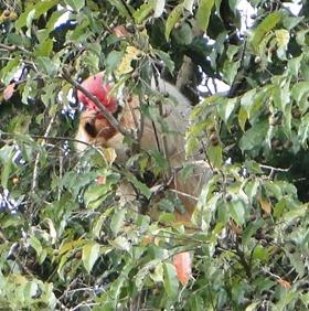 Macaco uacari-branco