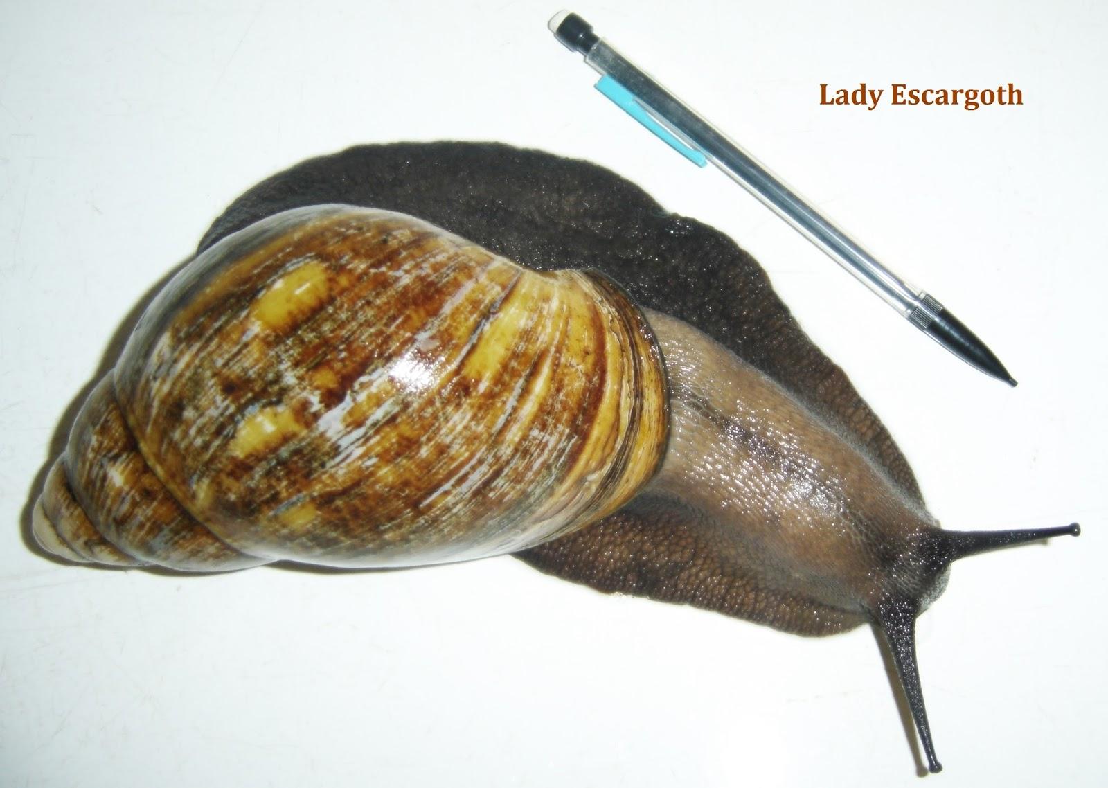 archachatina escargot
