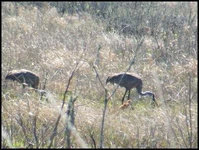Sand Hill Cranes and San Felasco Hammock 031