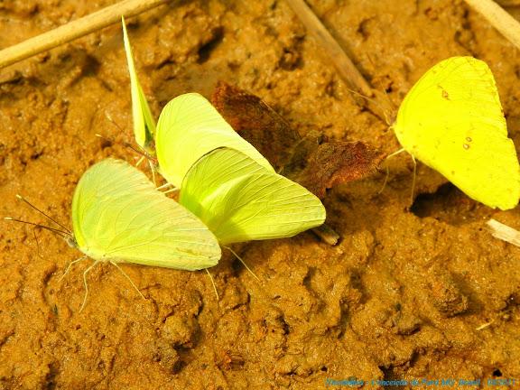 À gauche : Aphrissa statira (CRAMER, 1777), mâles. À droite : Phoebis sennae marcellina (CRAMER, 1777), mâles. Au milieu : Hesperiidae non identifié. Pitangui (MG, Brésil), 24 avril 2011. Photo : Nicodemos Rosa