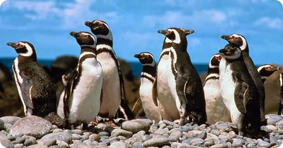 pinguinos-de-magallanes